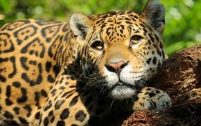 jaguar, Snout, view