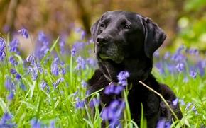 Лабрадор-ретривер, собака, цветы, колокольчики