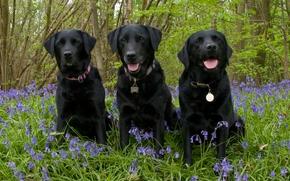 Labrador Retriever, Cão, Trindade, trio, Flores, Sinos, floresta