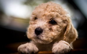 пудель, собака, щенок, мордочка