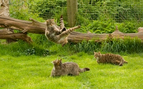 wildcat, wildcat, cats, cat, ninja cat, karate, jump, log