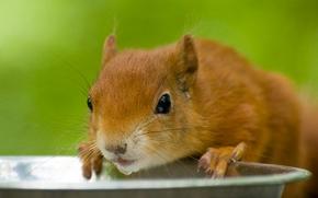 scoiattolo, Redhead, museruola, SETE