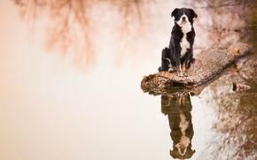 Бордер-колли, собака, бревно, вода, отражение