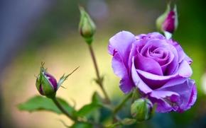 rosa, GERMOGLI, Macro