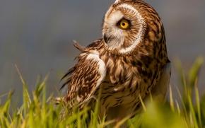 Болотная сова, сова, птица, трава