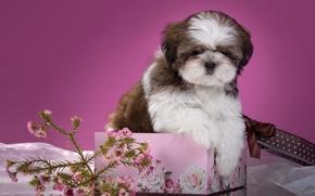 Shih Tzu, cane, cucciolo, scatola, donazione, ramo, fiori
