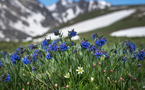 Colorado, mertenziya, Lloyd Alpine, natura