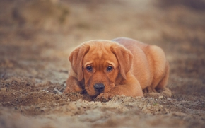 Labrador Retriever, dog, puppy, view, sand