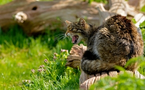 wildcat, wildcat, scratch-cat, log