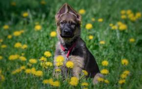 Немецкая овчарка, собака, щенок, луг, цветы, одуванчики