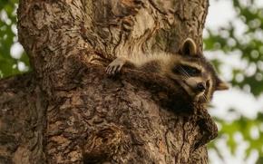 raccoon, dreamer, tree, on the tree