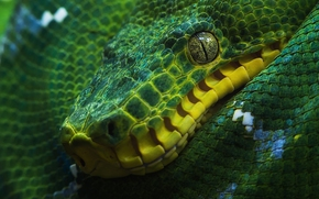 зелёный древесный удав, удав, змея
