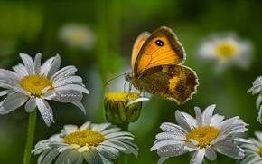 motyl, Rumianek, Kwiaty, Macro