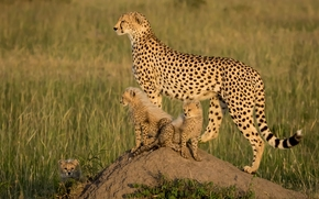 África, Chitas, Jovem, Gatinhos