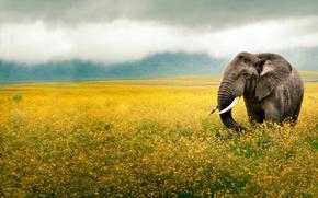 уши, животное, бивни, слон