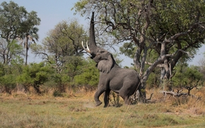 уши, животное, бивни, дерево, слон, кусты