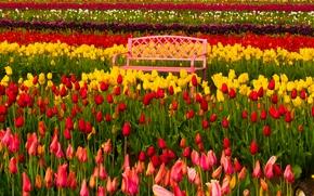 Woodburn, Oregon, Вудберн, Орегон, фестиваль тюльпанов, тюльпаны, бутоны, разноцветные, скамейка