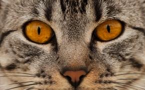 кот, кошка, морда, нос, глаза, взгляд