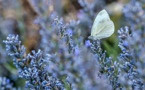 бабочка, лаванда, цветы, макро