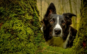 Border Collies, dog, Snout, view, tree, moss
