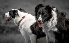Бордер-колли, собаки, взгляд, язык, ошейник