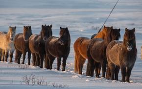 Islândia, Islândia, Cavalos, cavalo, inverno, neve