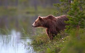 bear, Bruin, forest, water