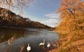 jezioro, jesień, drzew, Swans, krajobraz