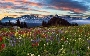 Mountains, sunset, field, Flowers, Mount Rainier, Washington, landscape