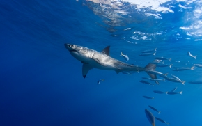 white shark, fish, scad, accompaniment, sea, water
