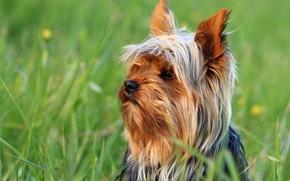 Yorkshire terrier, York, dog, Snout, grass