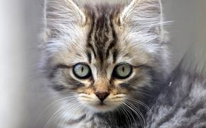 котёнок, мордочка, взгляд