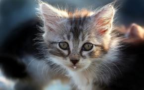 gattino, museruola, baffi, visualizzare