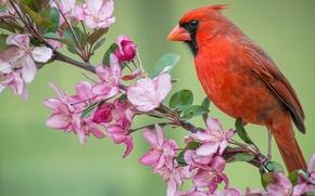 Red Cardinal, cardinal, bird, branch, apple, flowering, flowers, SPRING