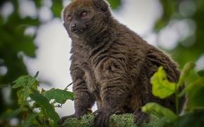lemure, posa, lana, visualizzare, albero