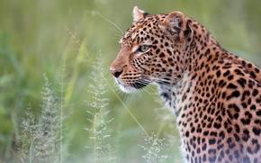 leopard, wildcat, predator, portrait