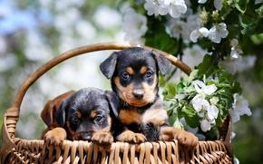 Dog, Puppies, basket, apple, branch, flowering, flowers