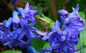 пастушья квакша, древесная лягушка, квакша, лягушка, гиацинты, цветы, макро