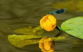 bellezza brillante, libellula, Nuphar lutea, giglio giallo di acqua, ninfea, acqua, Macro