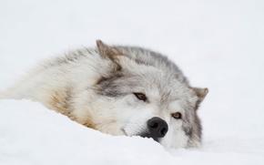 loup, Museau, récréation, hiver, neige