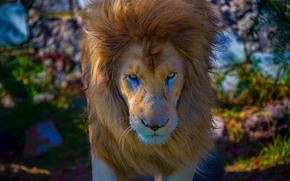 león, Rey de la selva, Hocico, GRIVA, ver