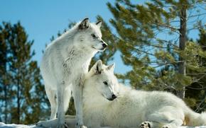 Wolves, prédateurs, quelques