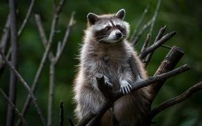 raccoon, BRANCH, tree