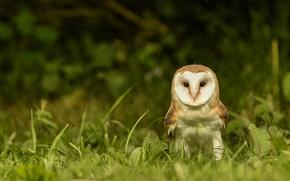 barn owl, screech-owl, owl, bird, view, grass