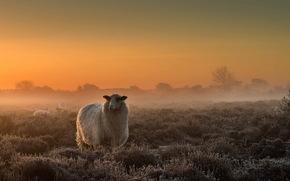 Pecora, campo, nebbia, crepuscolo