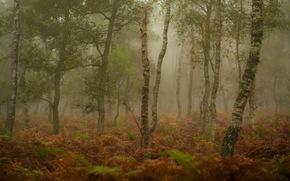лес, туман, берёзы, папоротник, природа