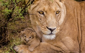Lions, leonessa, lionet, cub, bambino