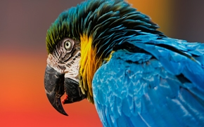 Blue-and-yellow macaw, macaw, parrot, bird, head, beak, plumage, background