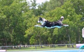 Border Collie, cane, saltare, volo, piscina