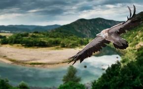гриф, птица, полёт, крылья, природа, панорама